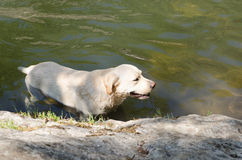 Hond i water Stock Foto