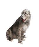 Hond Ierse wolfshond Stock Foto