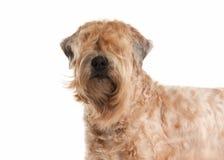 Hond Ierse zachte met een laag bedekte wheaten terriër Royalty-vrije Stock Foto's