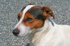 Hond, Jack Russell royalty-vrije stock foto