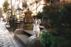 Hond Jack Russell Terrier in de oude stad stock foto