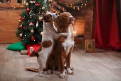 Hond Jack Russell Terrier en de vakantie van Hondnova scotia duck tolling retriever, Kerstmis Royalty-vrije Stock Foto's