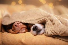 Hond Jack Russell Terrier en Hond Nova Scotia Duck Tolling Retriever stock foto's