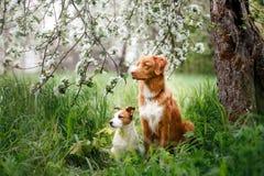 Hond Jack Russell Terrier en Hond Nova Scotia Duck Tolling Retriever die op de achtergrond van witte bloemen in de boomgaard lope Stock Foto's
