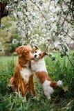 Hond Jack Russell Terrier en Hond Nova Scotia Duck Tolling Retriever die op de achtergrond van witte bloemen in de boomgaard lope Stock Afbeeldingen