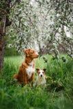 Hond Jack Russell Terrier en Hond Nova Scotia Duck Tolling Retriever die op de achtergrond van witte bloemen in de boomgaard lope Stock Afbeelding