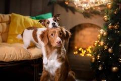 Hond Jack Russell Terrier en Hond Nova Scotia Duck Tolling Retriever Kerstmisseizoen 2017, nieuw jaar Royalty-vrije Stock Afbeeldingen