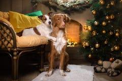 Hond Jack Russell Terrier en Hond Nova Scotia Duck Tolling Retriever Kerstmisseizoen 2017, nieuw jaar Royalty-vrije Stock Foto
