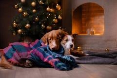 Hond Jack Russell Terrier en Hond Nova Scotia Duck Tolling Retriever Kerstmisseizoen 2017, nieuw jaar Stock Foto