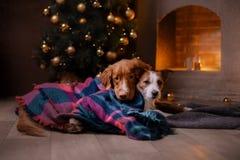 Hond Jack Russell Terrier en Hond Nova Scotia Duck Tolling Retriever Kerstmisseizoen 2017, nieuw jaar Stock Fotografie