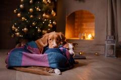 Hond Jack Russell Terrier en Hond Nova Scotia Duck Tolling Retriever Kerstmisseizoen 2017, nieuw jaar Royalty-vrije Stock Fotografie