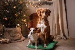 Hond Jack Russell Terrier en Hond Nova Scotia Duck Tolling Retriever Kerstmisseizoen 2017, nieuw jaar Royalty-vrije Stock Foto's