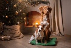 Hond Jack Russell Terrier en Hond Nova Scotia Duck Tolling Retriever Kerstmisseizoen 2017, nieuw jaar Stock Afbeeldingen