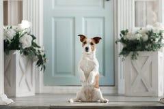 Hond Jack Russell Terrier op de portiek stock afbeeldingen