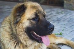Hond Kaukasische herdershond twee jaar oude jpg stock foto's