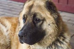 Hond Kaukasische herdershond twee jaar oude jpg stock afbeelding
