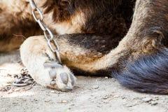 Hond in Kettingen royalty-vrije stock foto's