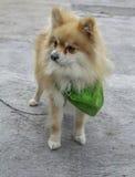 Hond klaar voor het lopen Stock Foto's