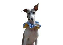 Hond in kostuum Stock Fotografie