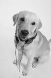 Hond in kostuum stock foto