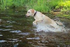 Hond Labrador Royalty-vrije Stock Afbeeldingen