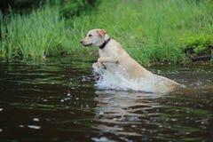Hond Labrador Royalty-vrije Stock Afbeelding