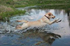Hond Labrador Stock Foto's
