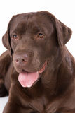 Hond Labrador bruin op witte achtergrond Stock Foto