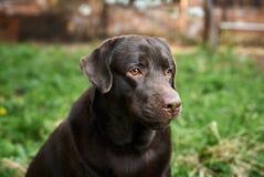 Hond, Labrador in de binnenplaats, huisdieren, dieren Stock Afbeeldingen
