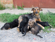 Hond melkende puppy Royalty-vrije Stock Fotografie