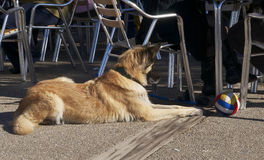 Hond met bal Royalty-vrije Stock Afbeeldingen