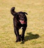 Hond met bal in mond Stock Afbeelding