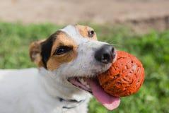 Hond met Bal in Mond stock foto's
