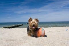 Hond met bal op strand Stock Afbeeldingen