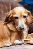 Hond met cannula in ader die infusie neemt Royalty-vrije Stock Foto