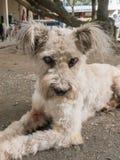 Hond met cataract royalty-vrije stock afbeeldingen
