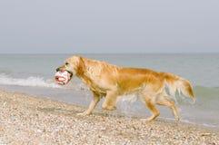 Hond met de bal op het strand Stock Foto