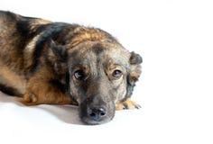 Hond met droevige ogen Stock Afbeelding