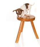Hond met duizeligheid Royalty-vrije Stock Foto