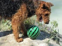 Hond met een bal Royalty-vrije Stock Foto's