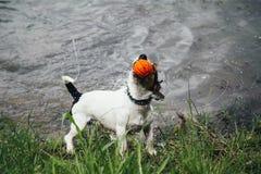 Hond met een bal in zijn mondschokken van water stock fotografie