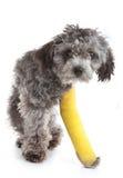 Hond met een gebroken been Stock Afbeeldingen