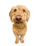 Hond met een glimlach Royalty-vrije Stock Afbeeldingen