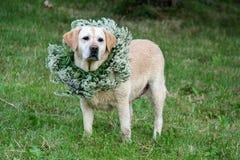 Hond met een kroon van het bloemen groene gras rond de hals stock afbeelding