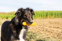 Hond met een maïskolf Royalty-vrije Stock Afbeeldingen