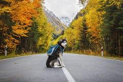 Hond met een rugzak op de weg stock afbeeldingen