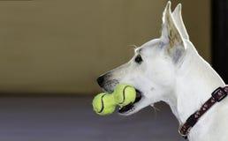Hond met een stuk speelgoed van tennisballen Royalty-vrije Stock Afbeeldingen