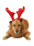 Hond met geweitakken royalty-vrije stock afbeeldingen