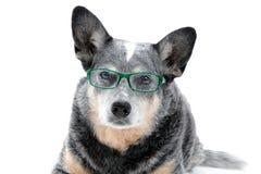 Hond met glazen Stock Afbeeldingen
