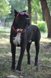 Hond met glazen royalty-vrije stock foto's